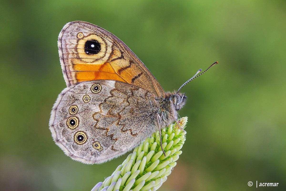 Lasiommata maera # Nymphalidae...