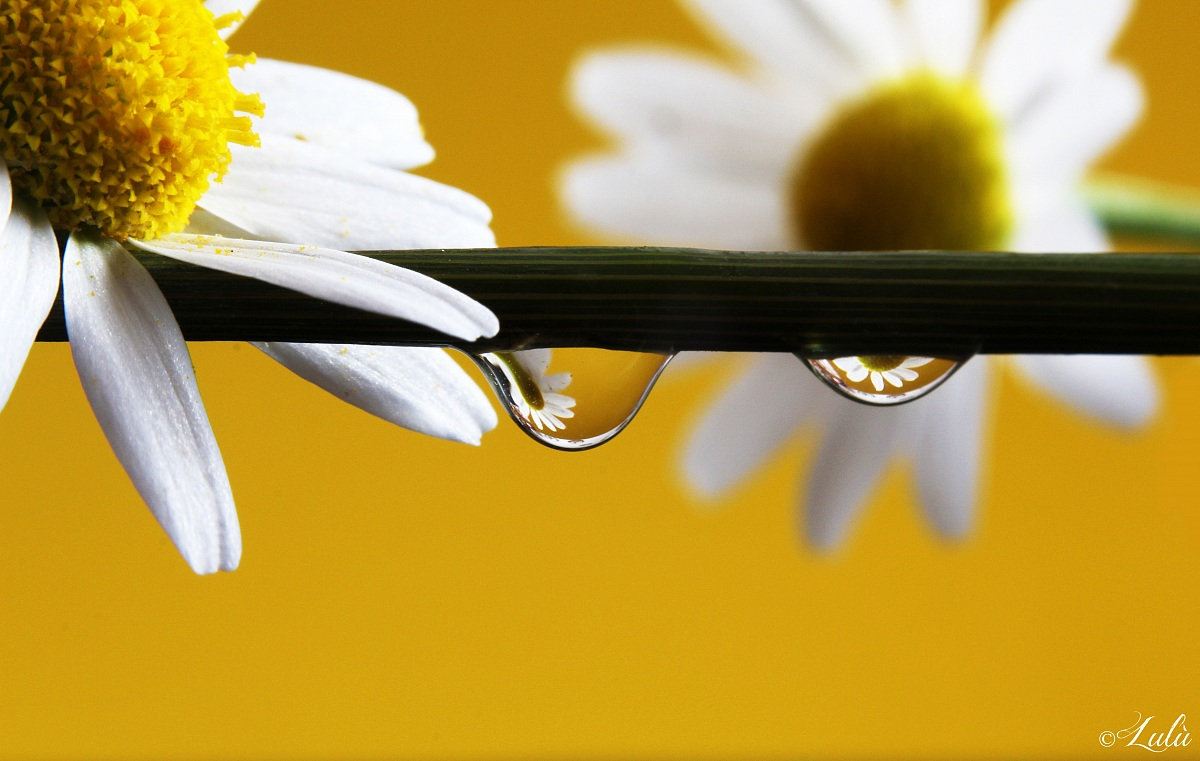 Daisys in a drop...
