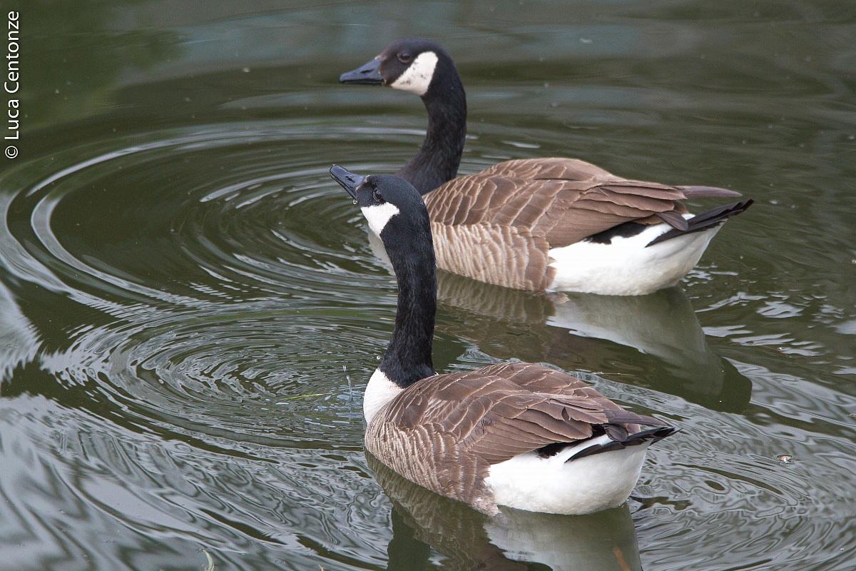 Canadian Goose (Branta Canadensis)...