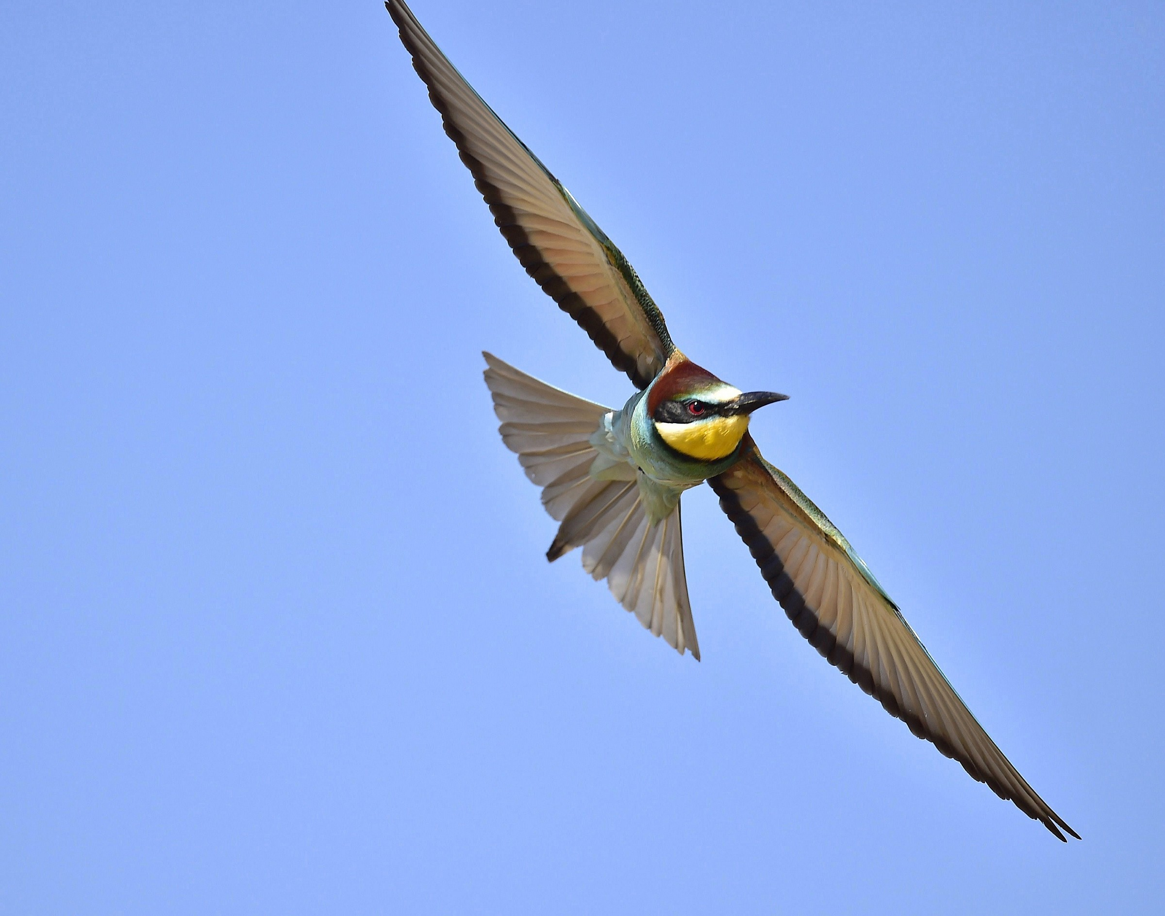 Bee-Eater in flight .....