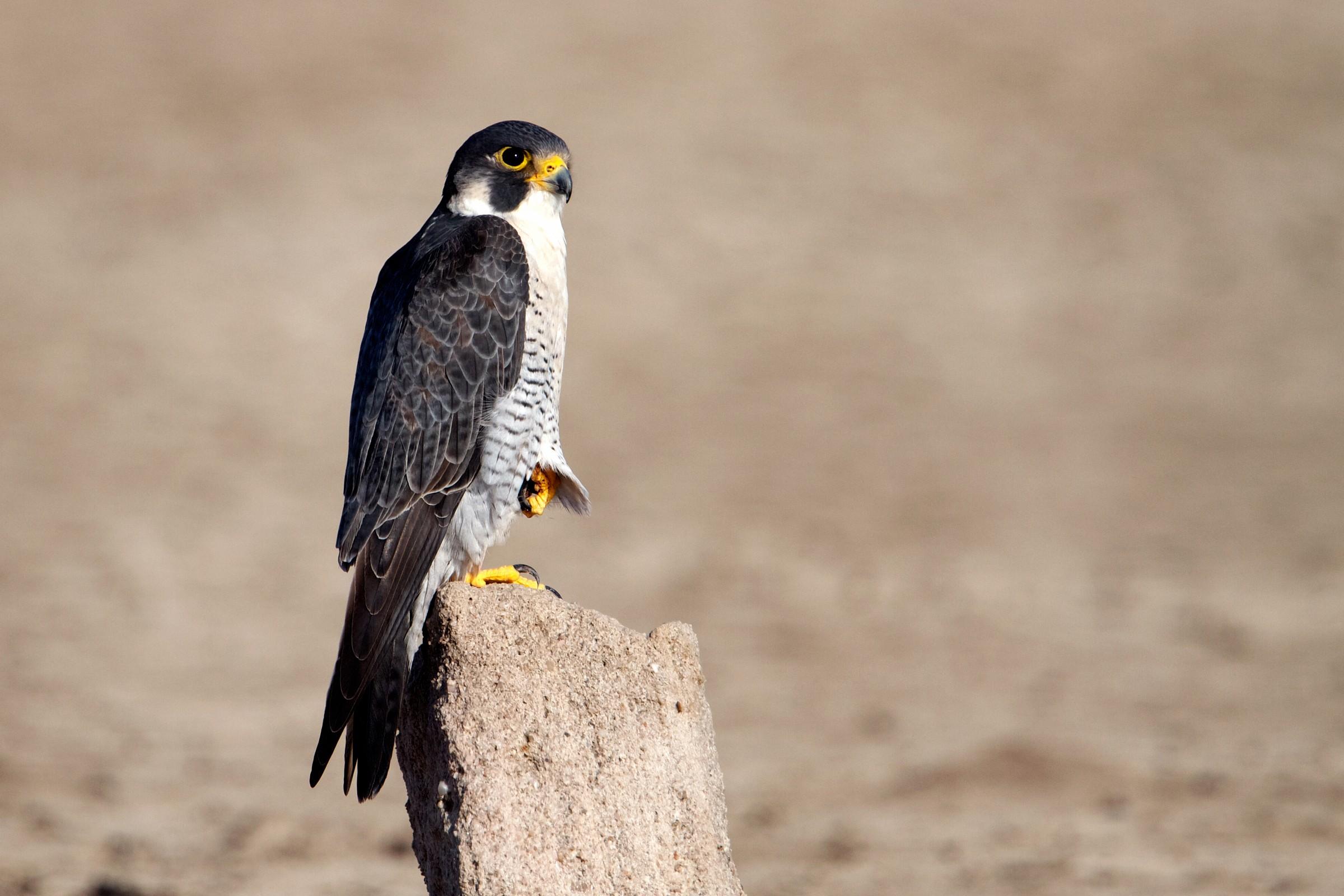 peregrine falcon...