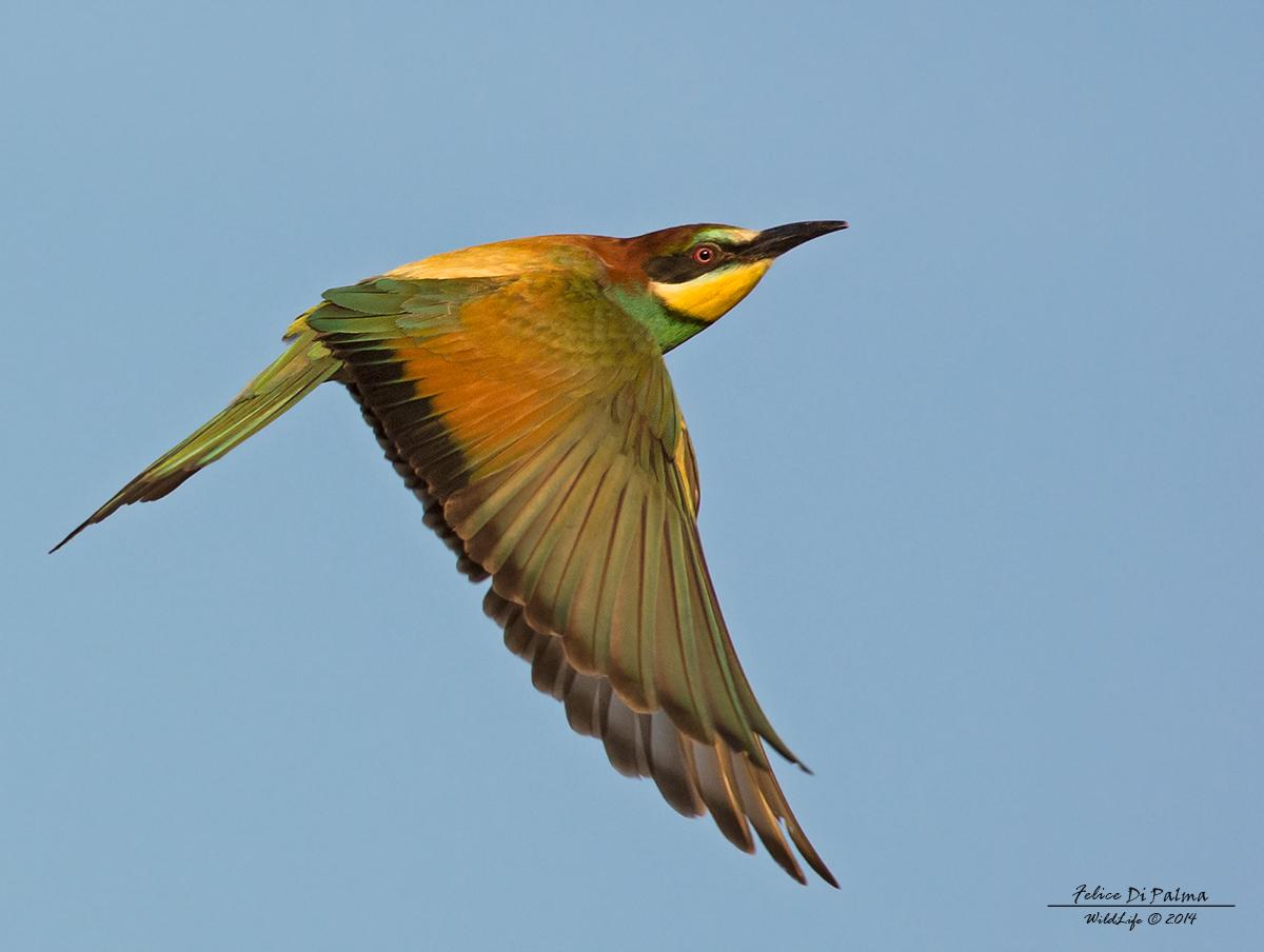 Bee-eater flying...