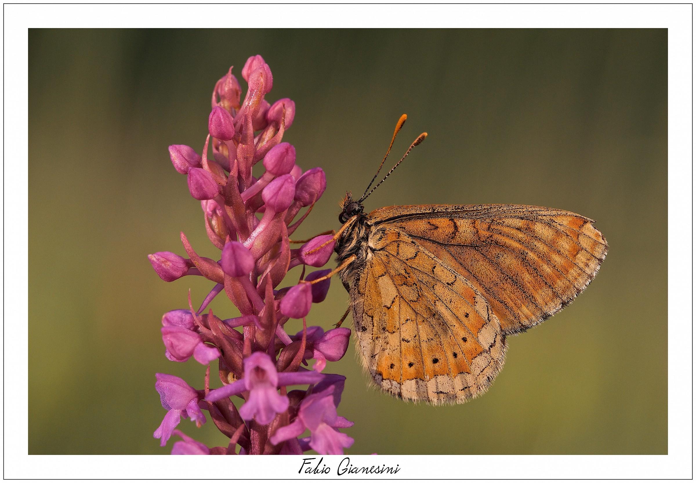 Orchidea e farfalla...