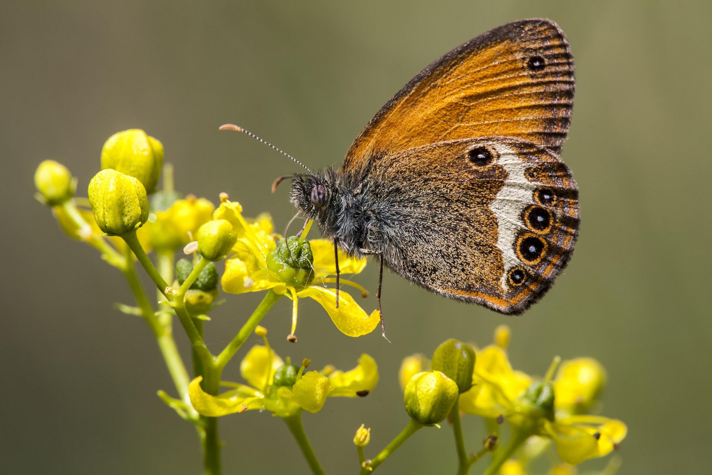 farfalla carso...