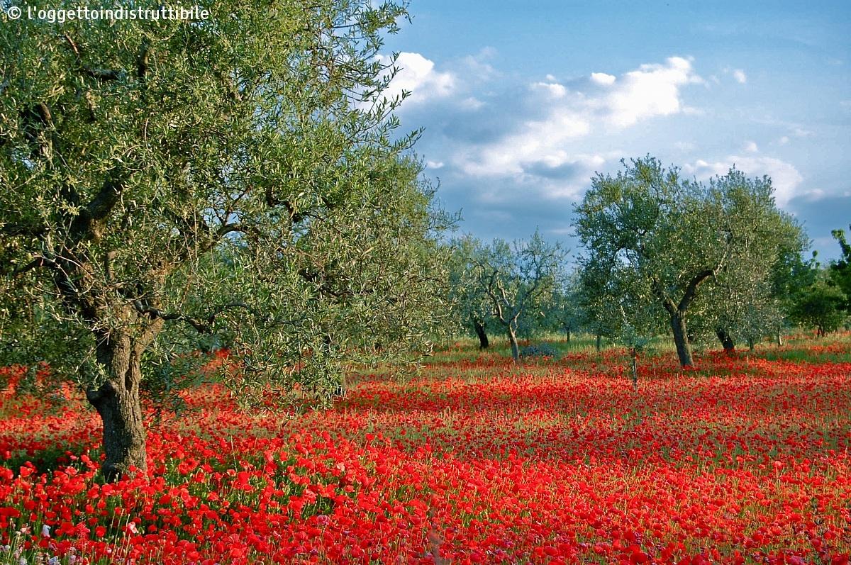 Ulivi di puglia e papaveri rossi juzaphoto for Semplici paesaggi