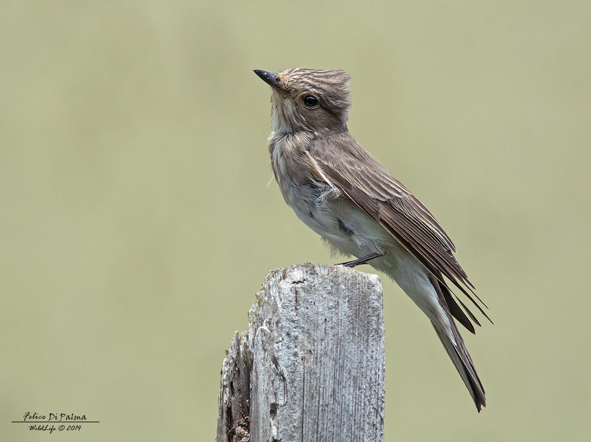 Flycatcher ......