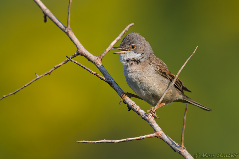Whitethroat...
