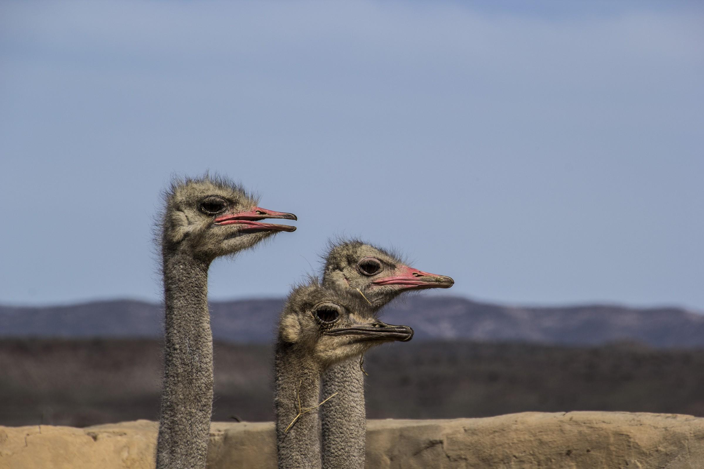 Ostriches...