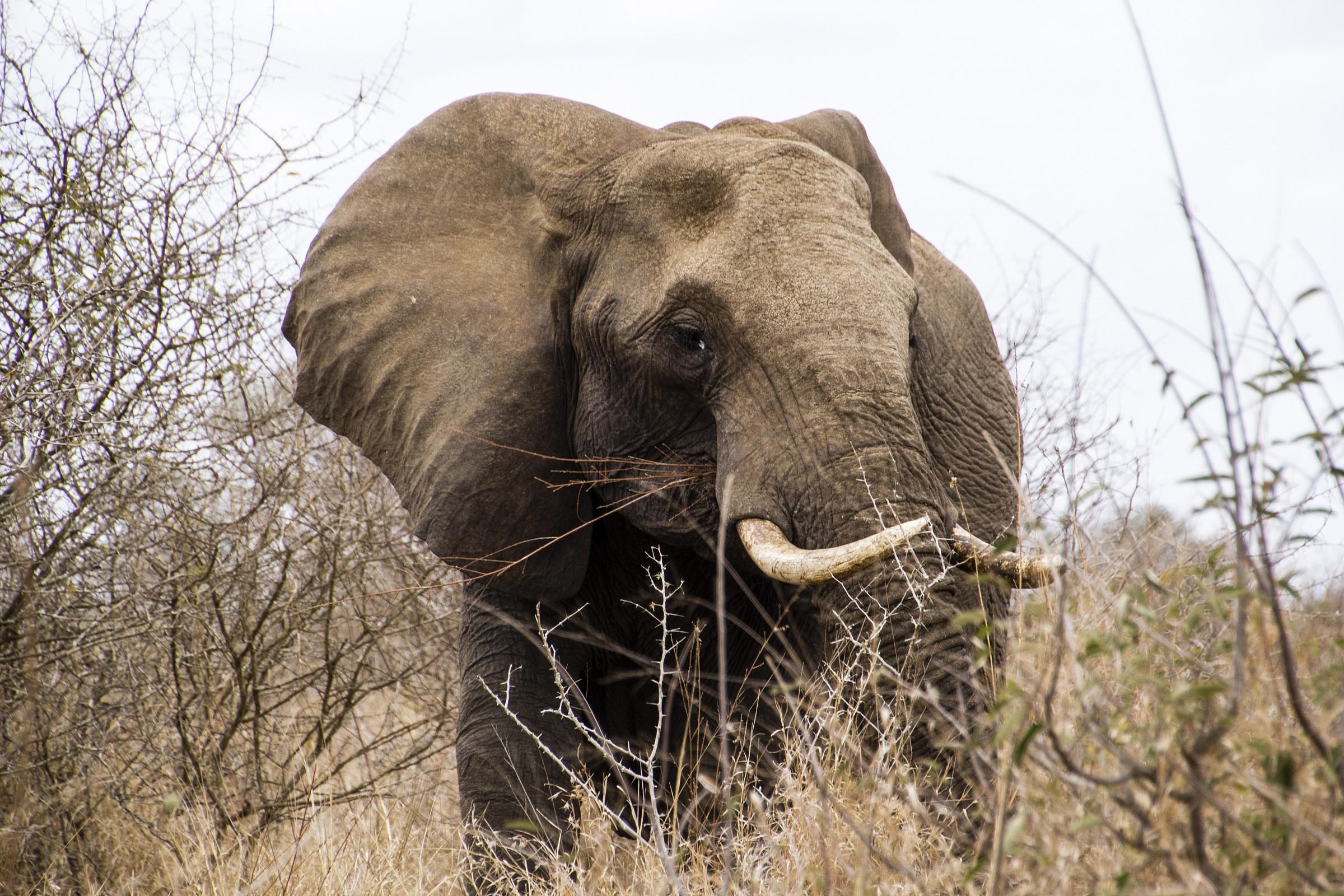 Kruger NP - Elephant...