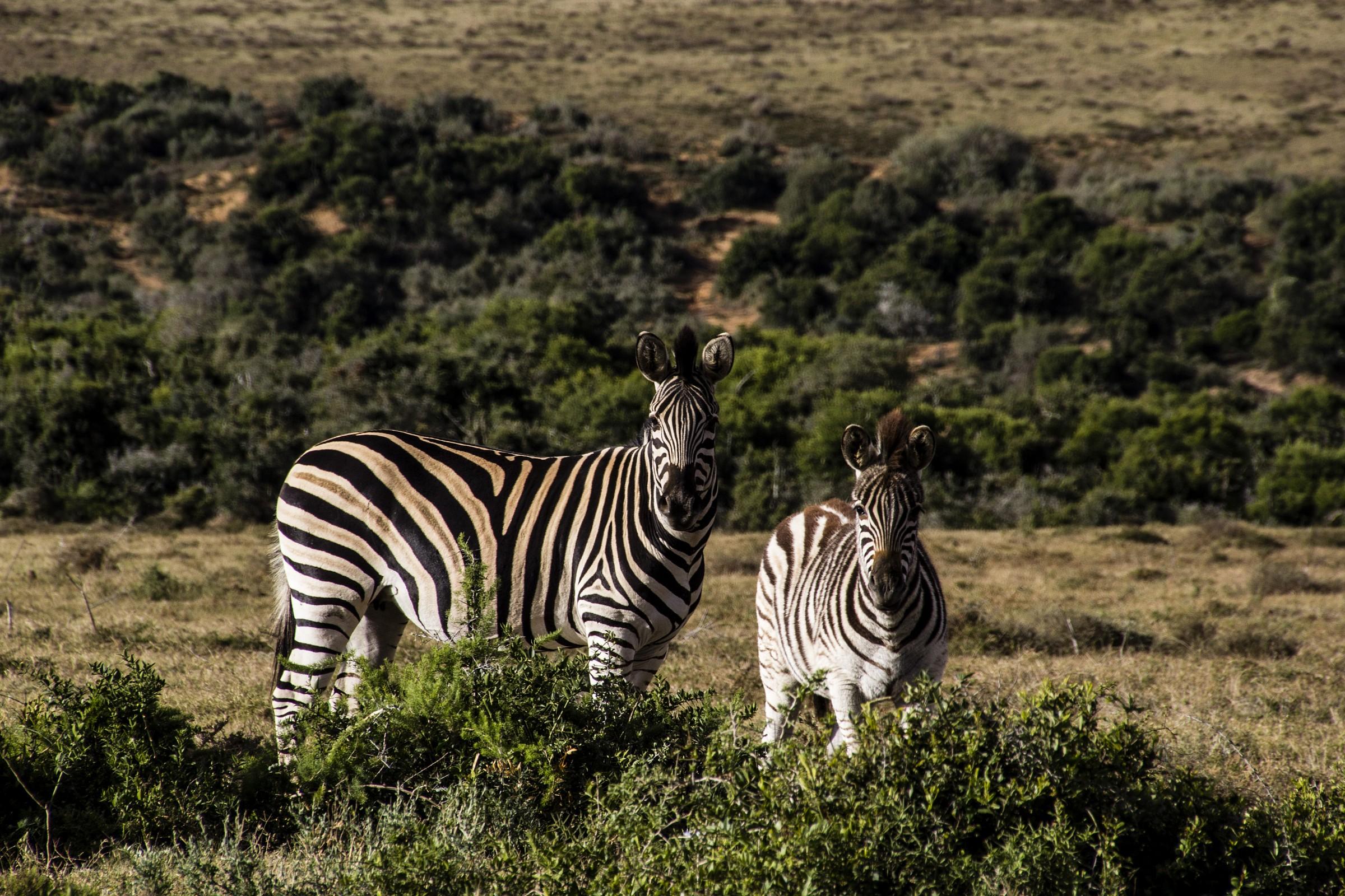 Kruger NP - zebras...