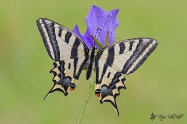 Papilio alexanor