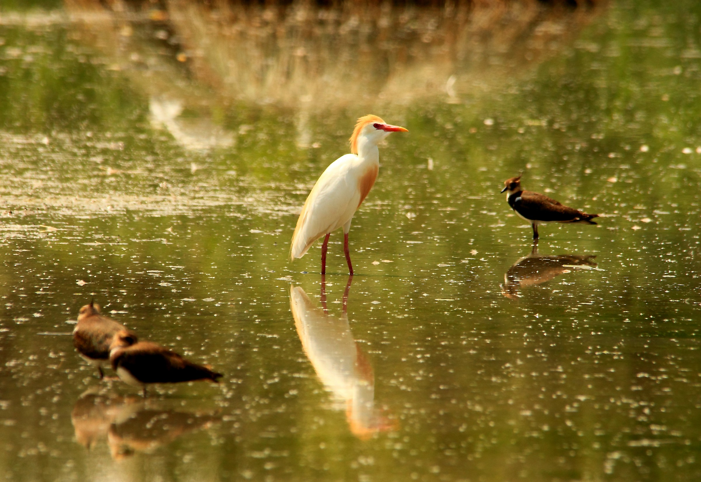 cattle egret colors during the courting...