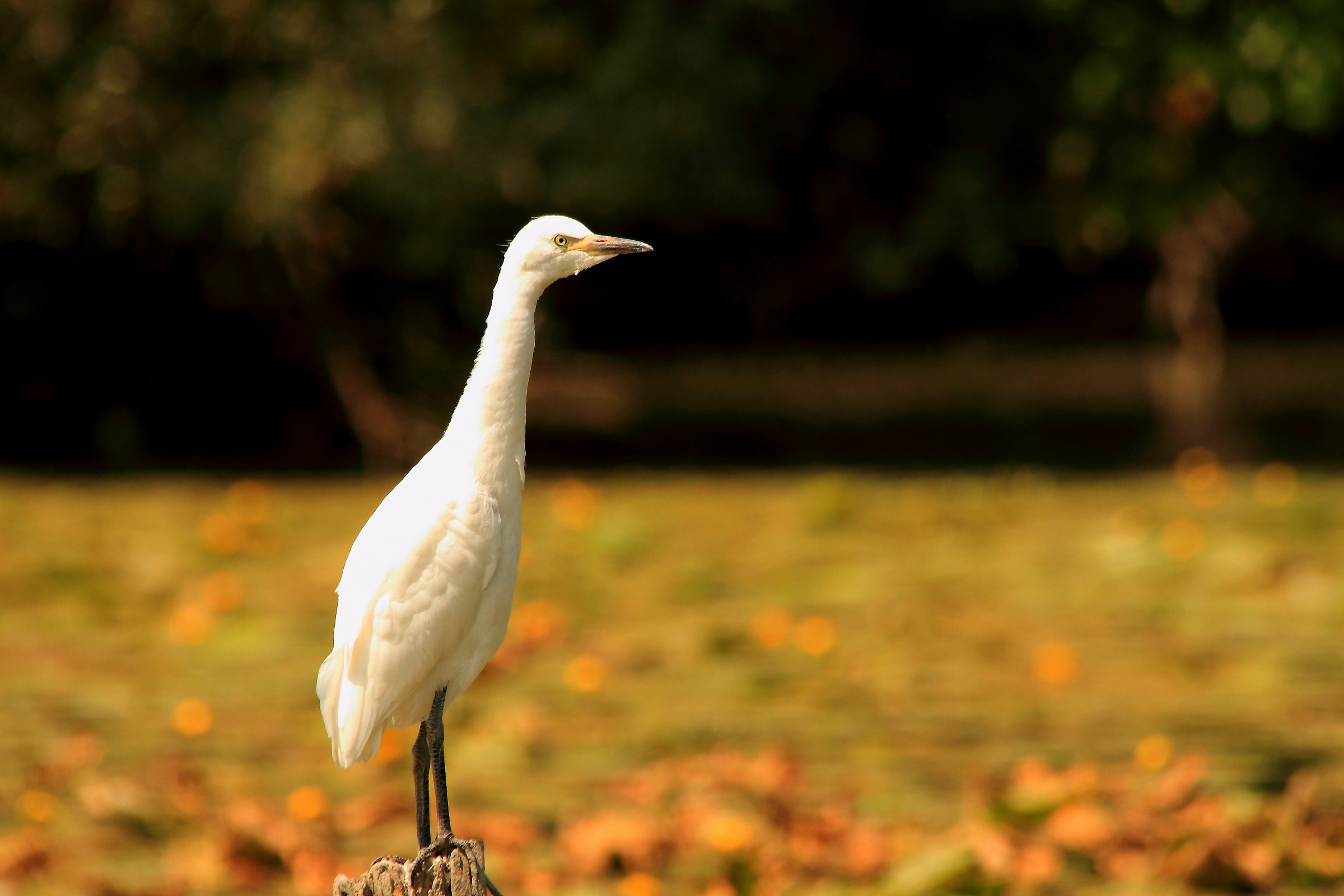 cattle egret...