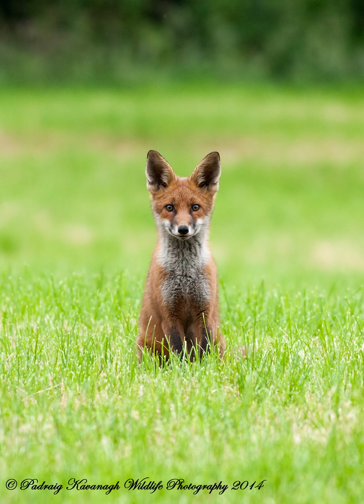 Curioso Fox Cub...