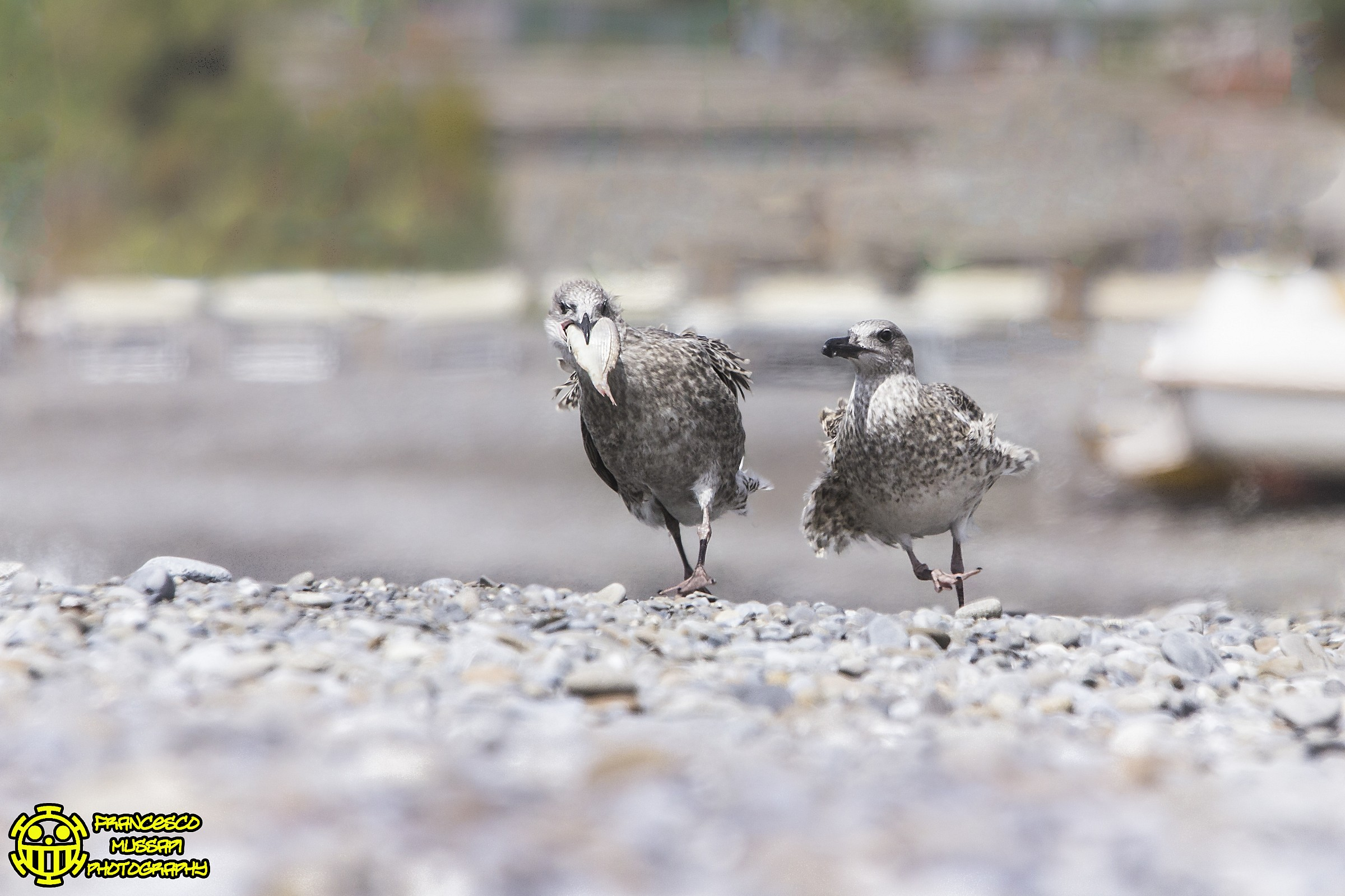 Is Mine! Little Gull...
