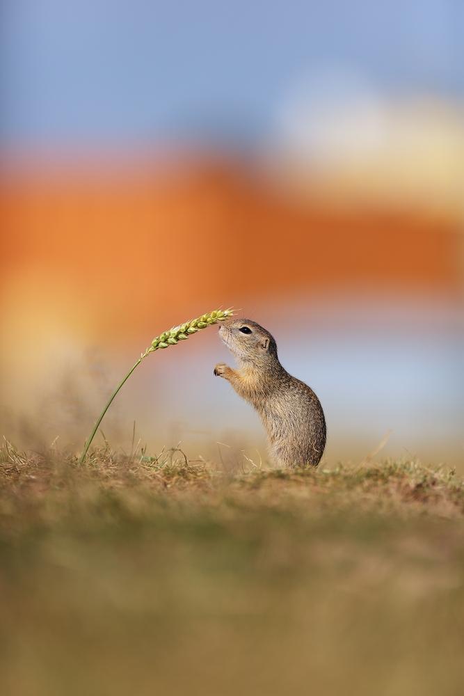 The European ground squirrel...