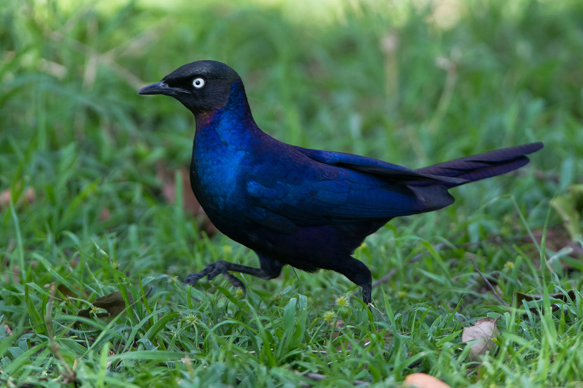 Blue bird in Kenya...