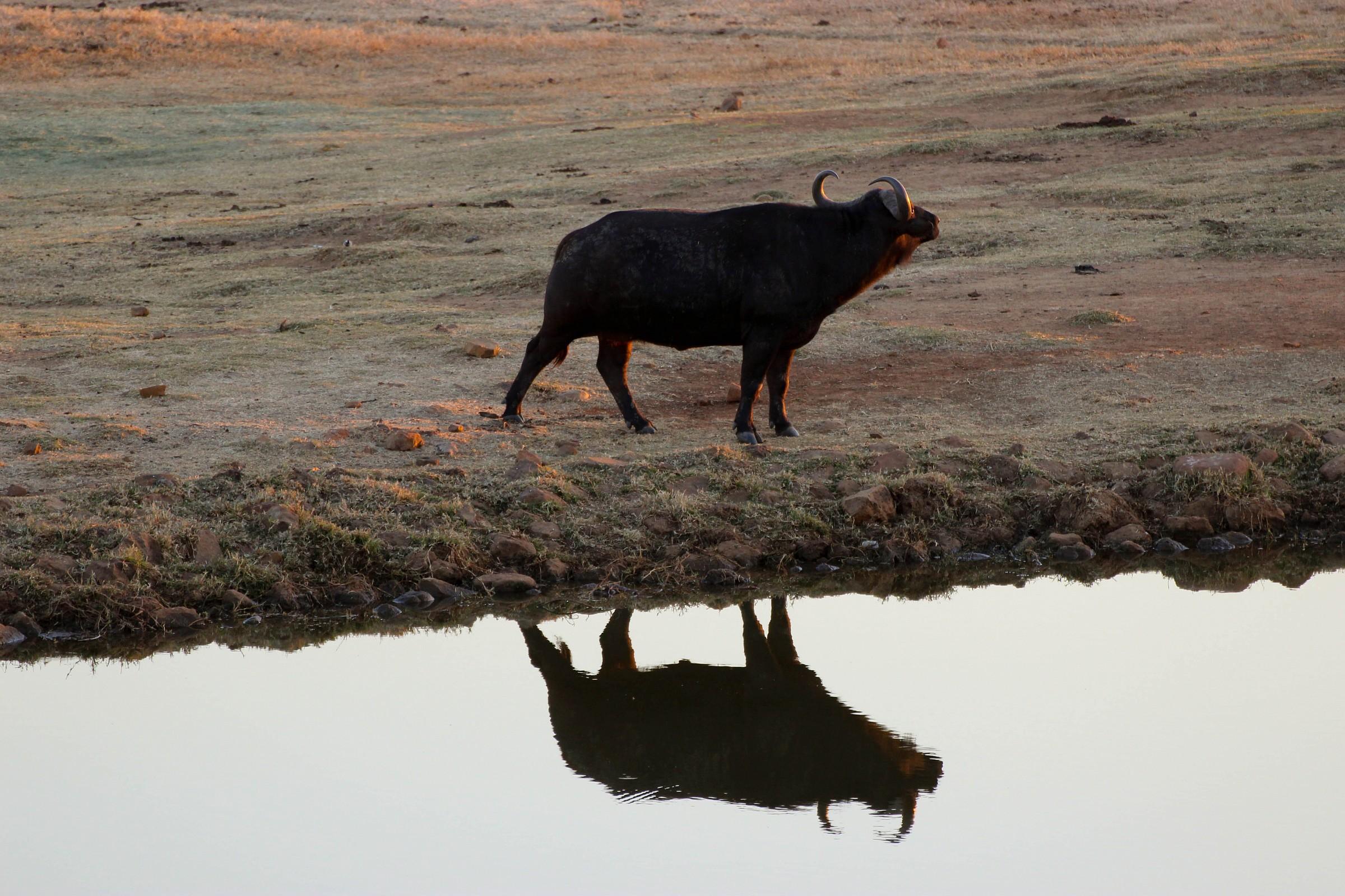African buffalo...
