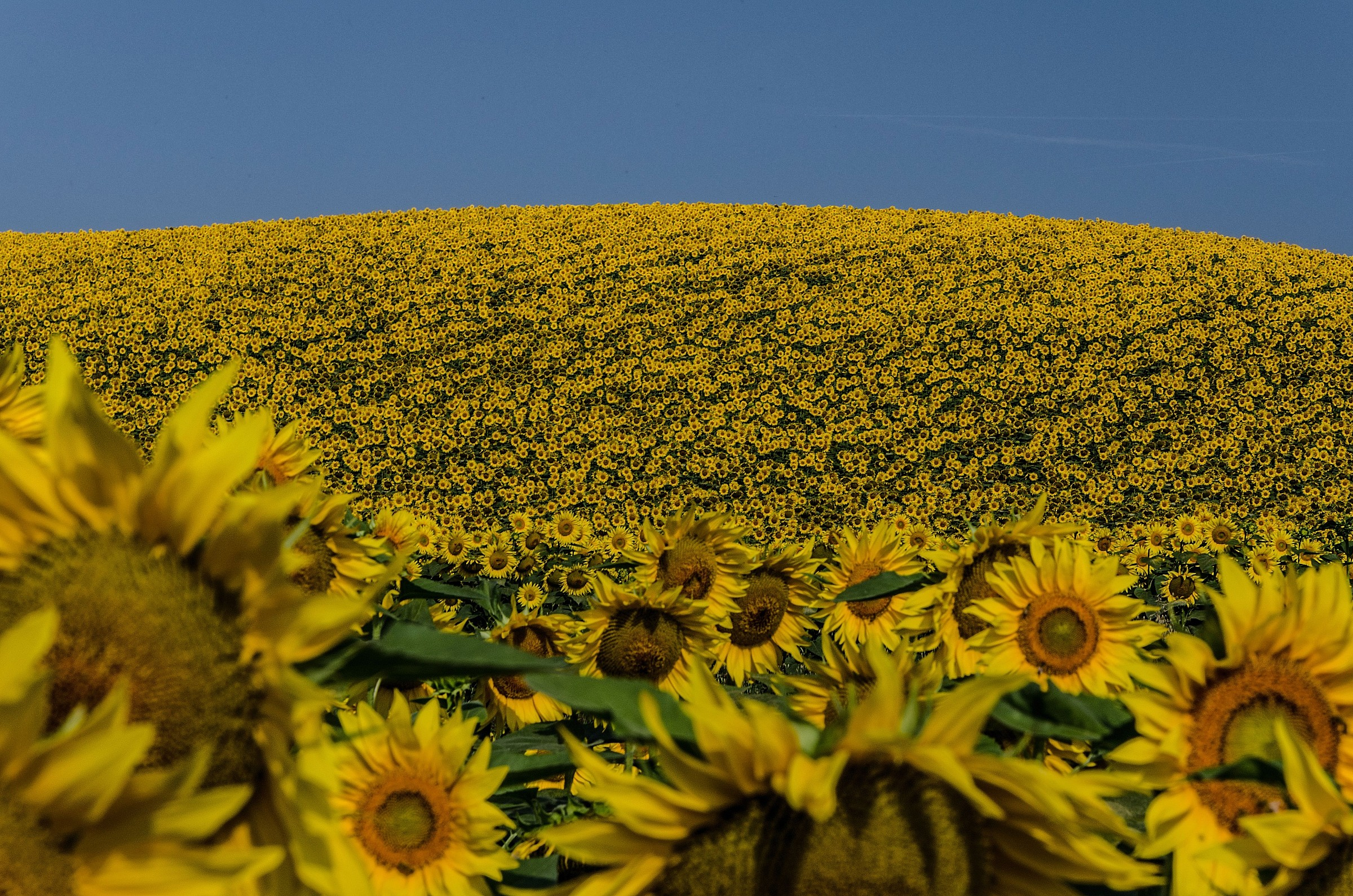tsunami of sunflowers...