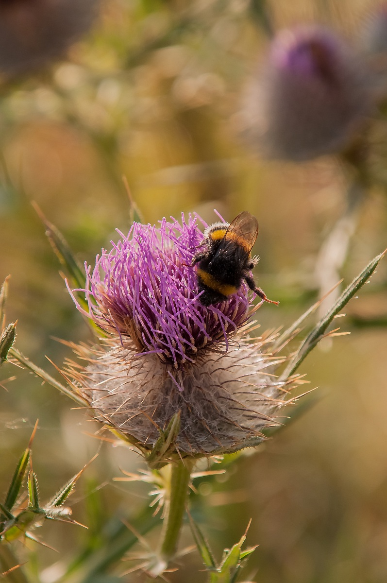 Bumblebee (Bombus sp.)...