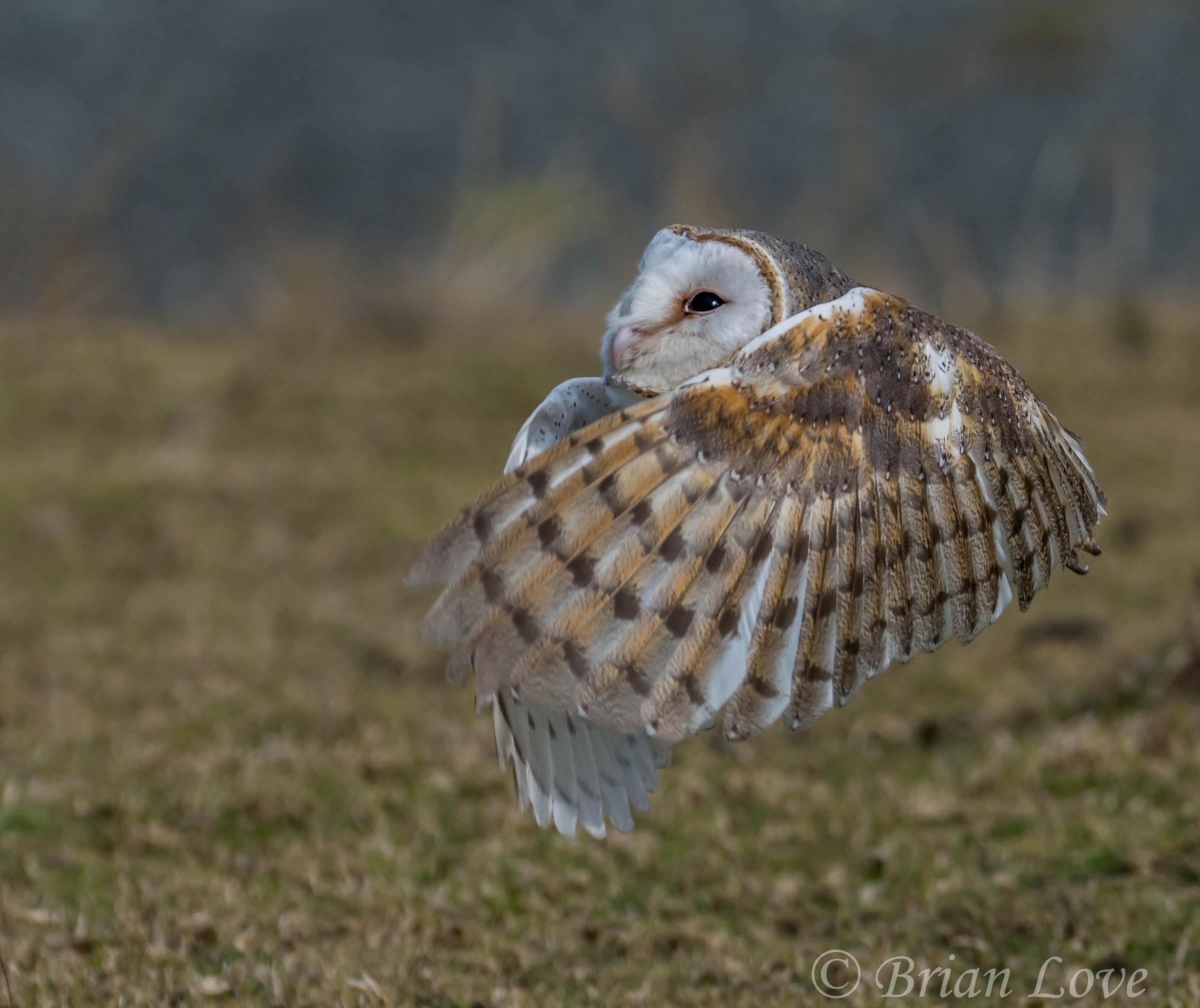 Barn Owl Embrace...