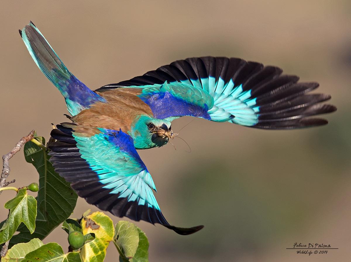 Mrina flying with prey ......