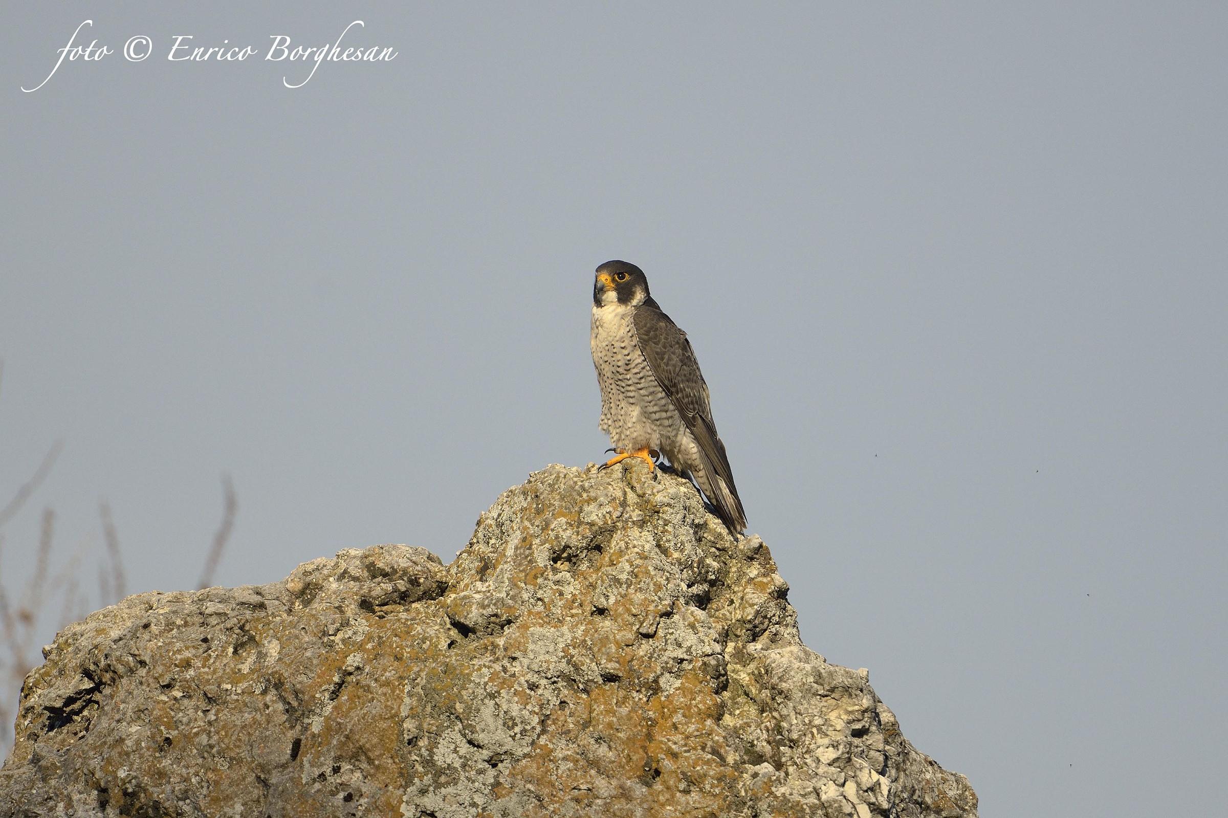 Falco pellegrino...