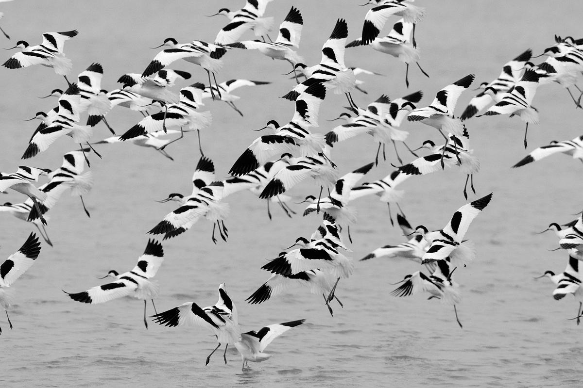 Flight of avocets...