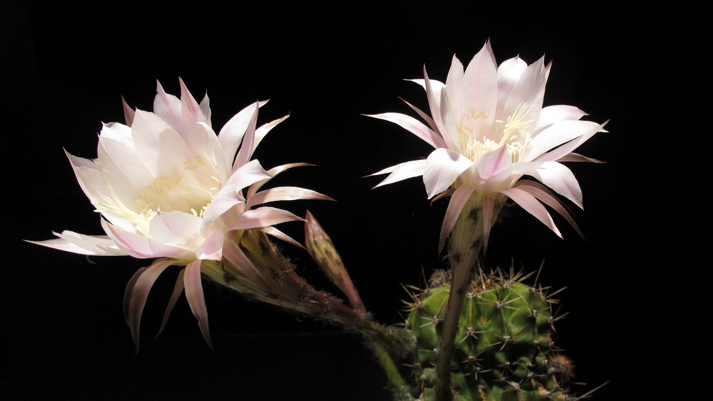 Deep night Beauty  (Echinopsis)...