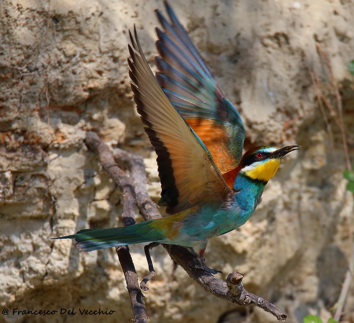 # Bee-eaters Merops Apiaster Brands...