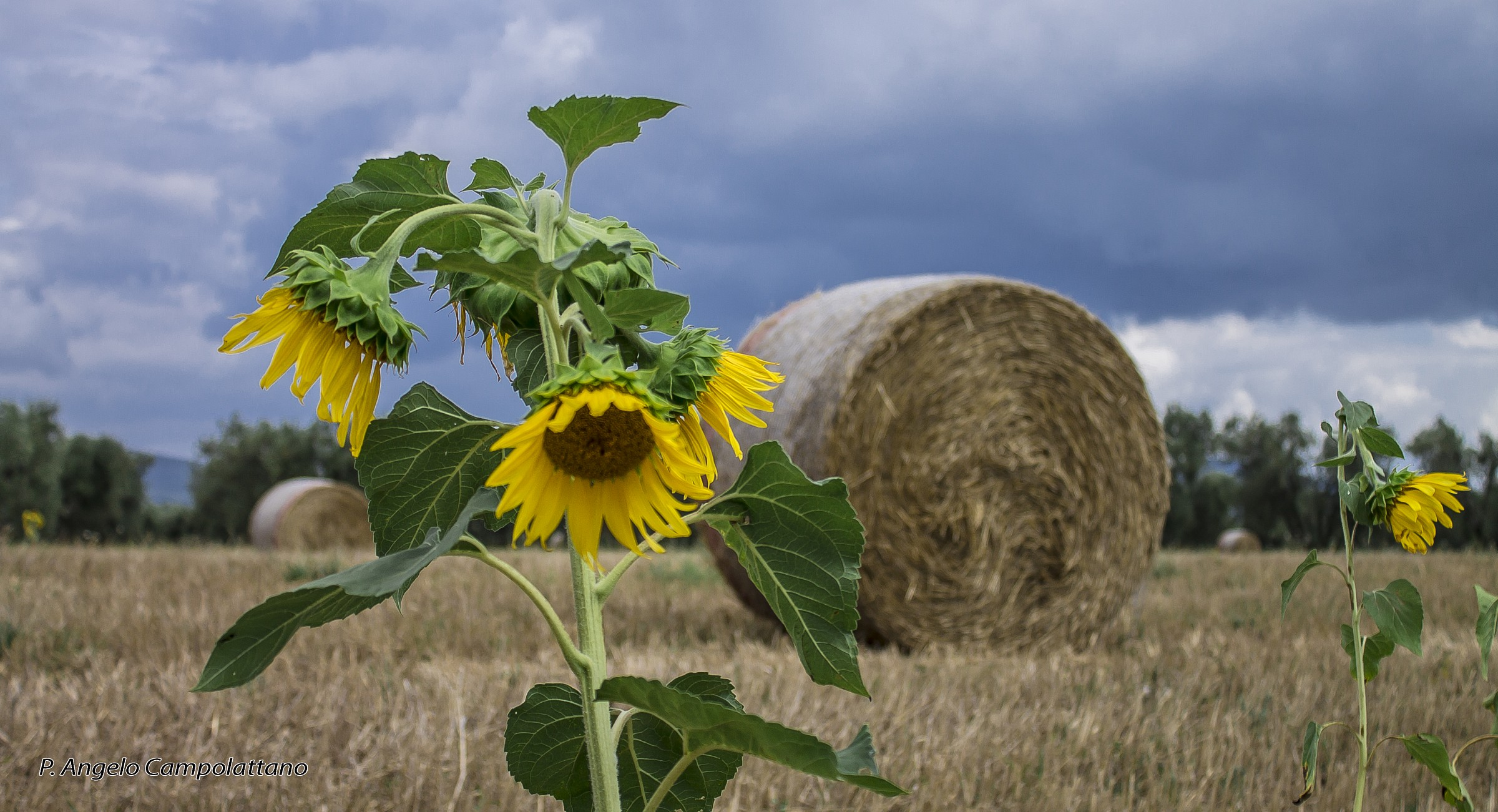 Hay and sunflowers...