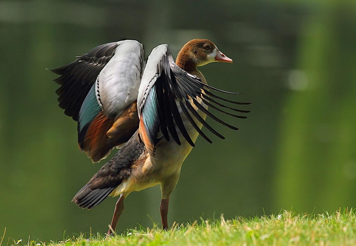 * Egyptian Goose...