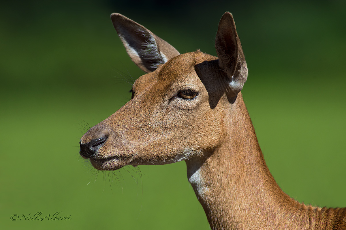 Doe Portrait...