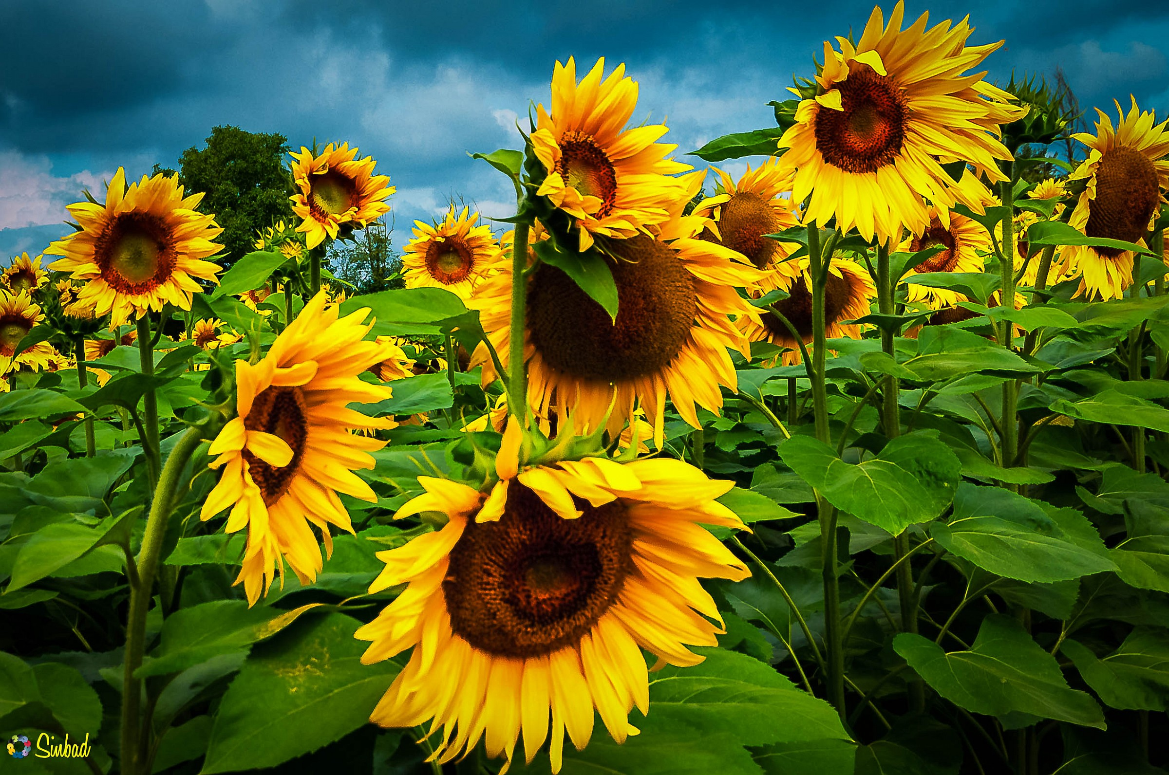 Sunflowers after a rainy day...
