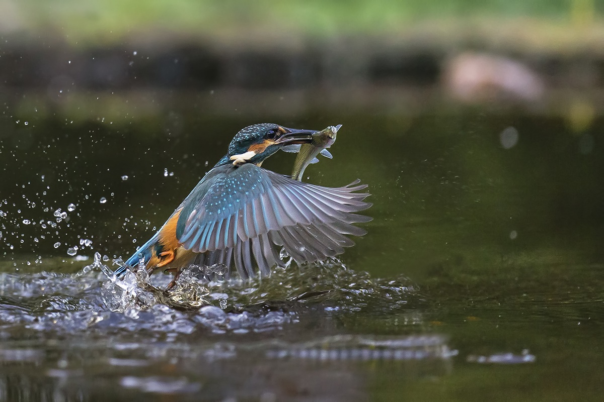 Kingfisher with fish...