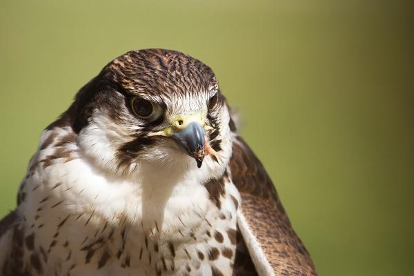 Falco oasi sant 39 alessio pavia italia spettacolo di fa for Mercatino usato pavia