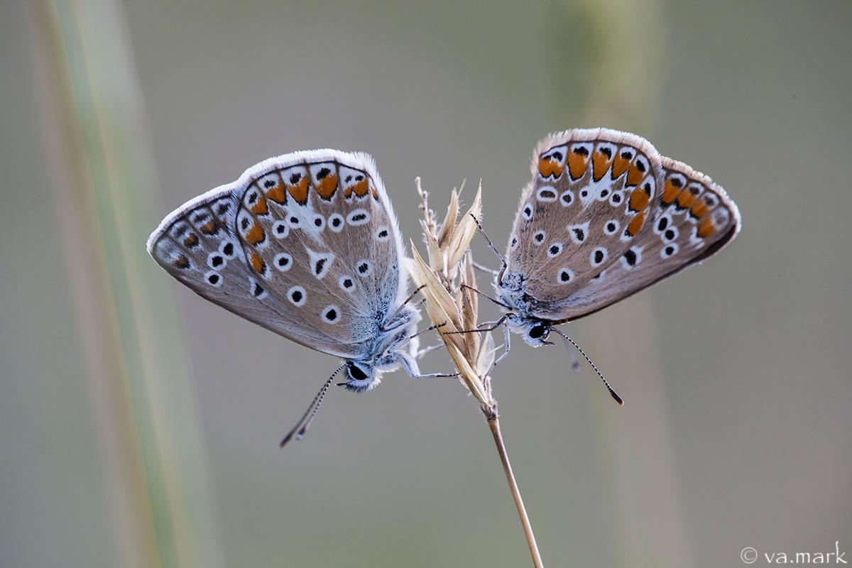 coppietta di Polyommatus icarus...