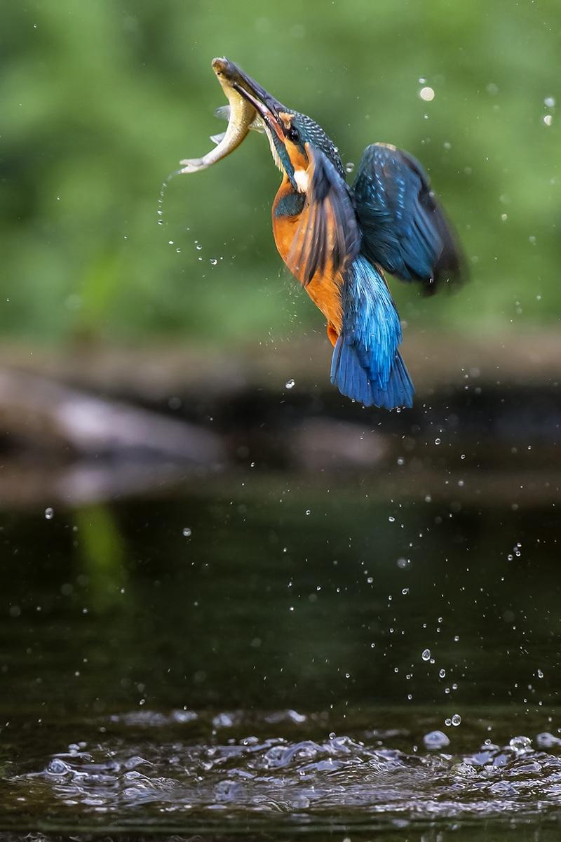 Martin pesctore with prey...