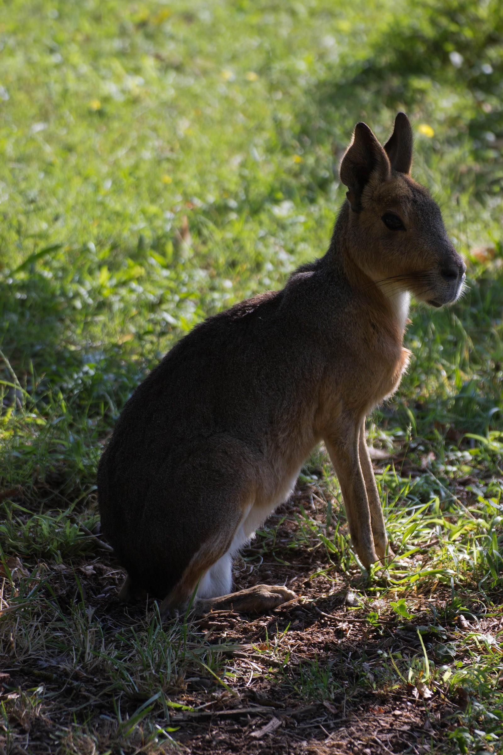 Patagonian Hare...