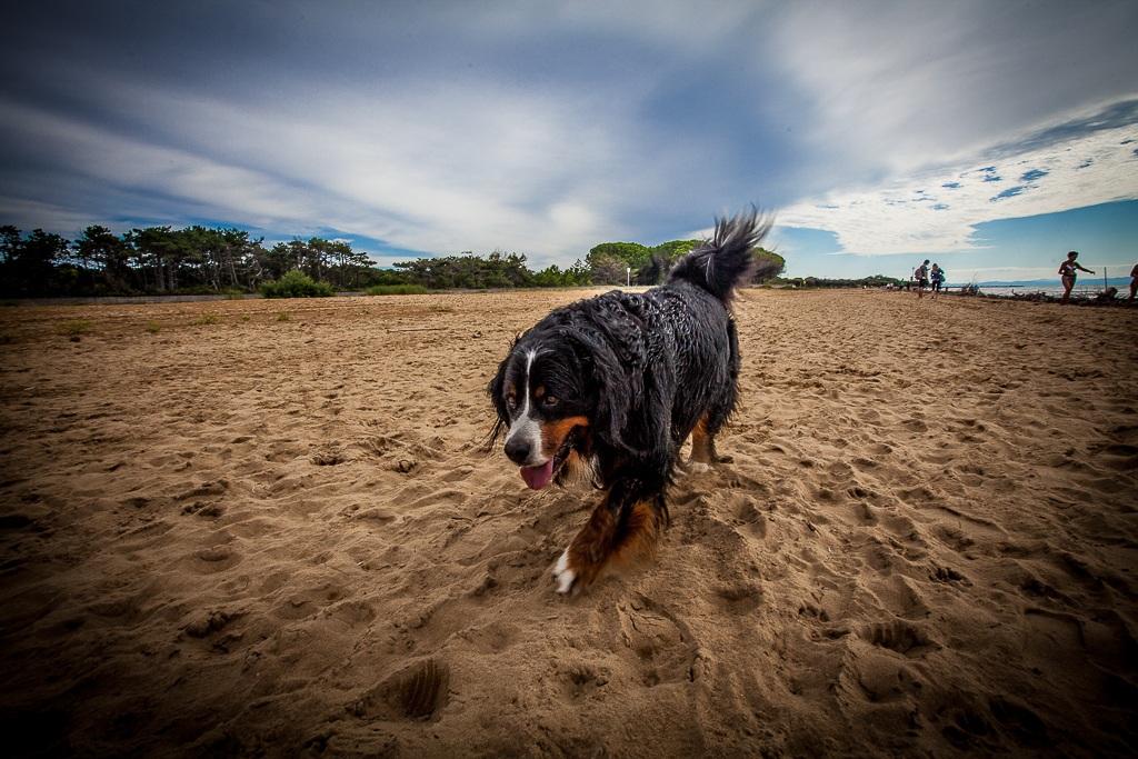 Bernese Mountain Dog...