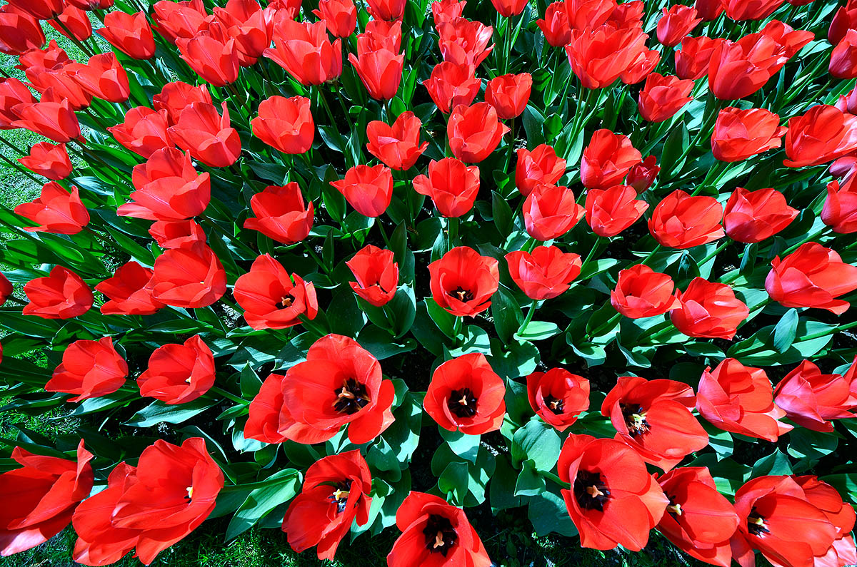 Explosion of tulips...