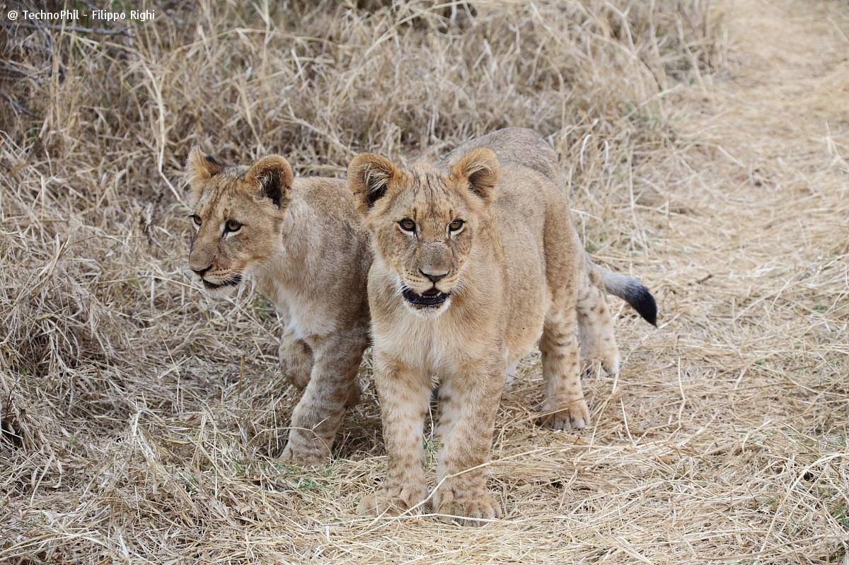 Lion cubs-)...