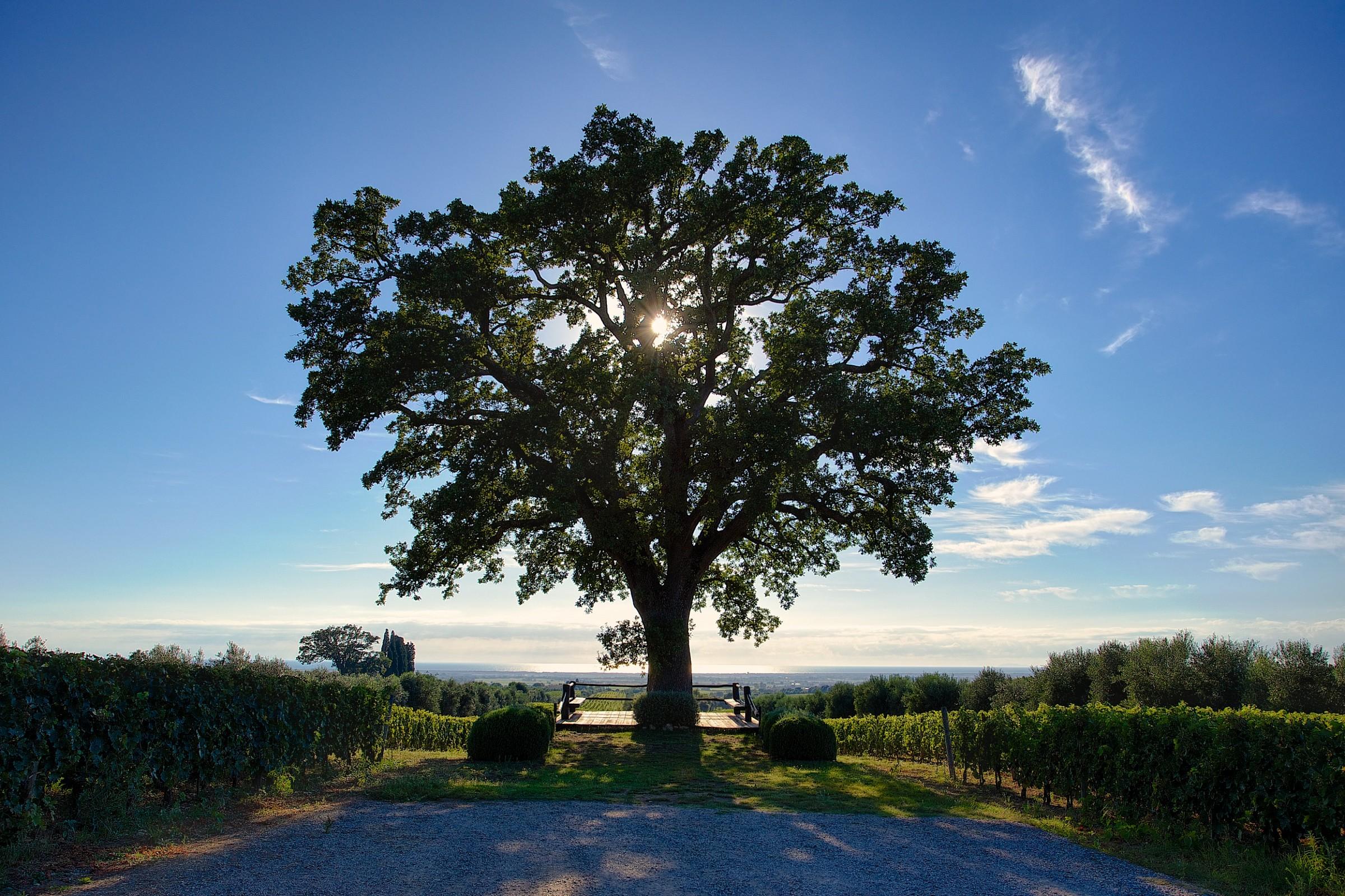 The big oak tree...