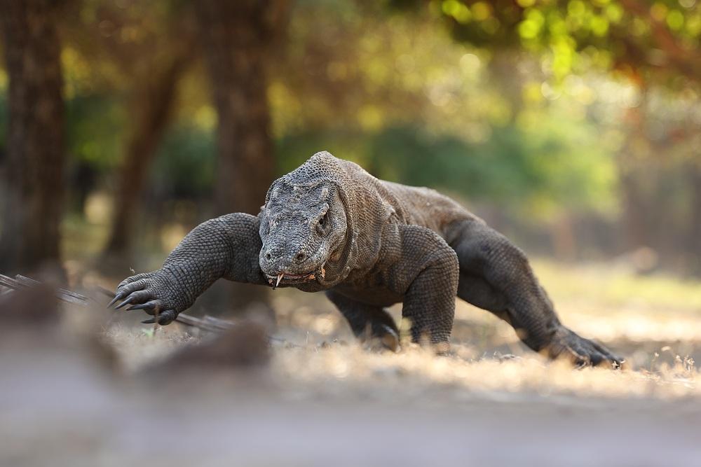 Komodo Dragon...