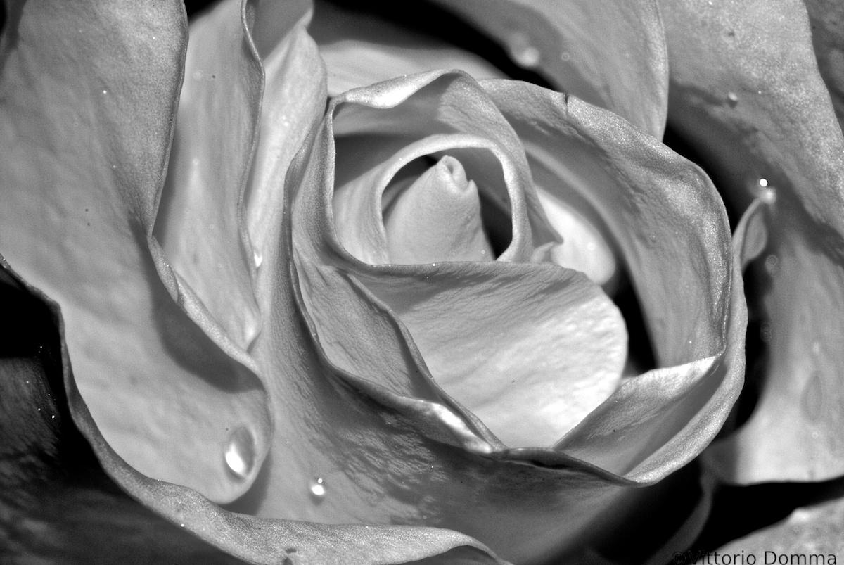 Rosa Argentata...
