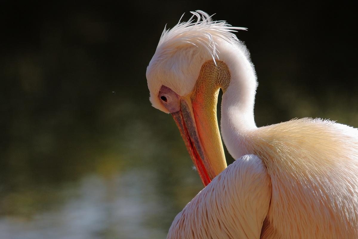 pelican...