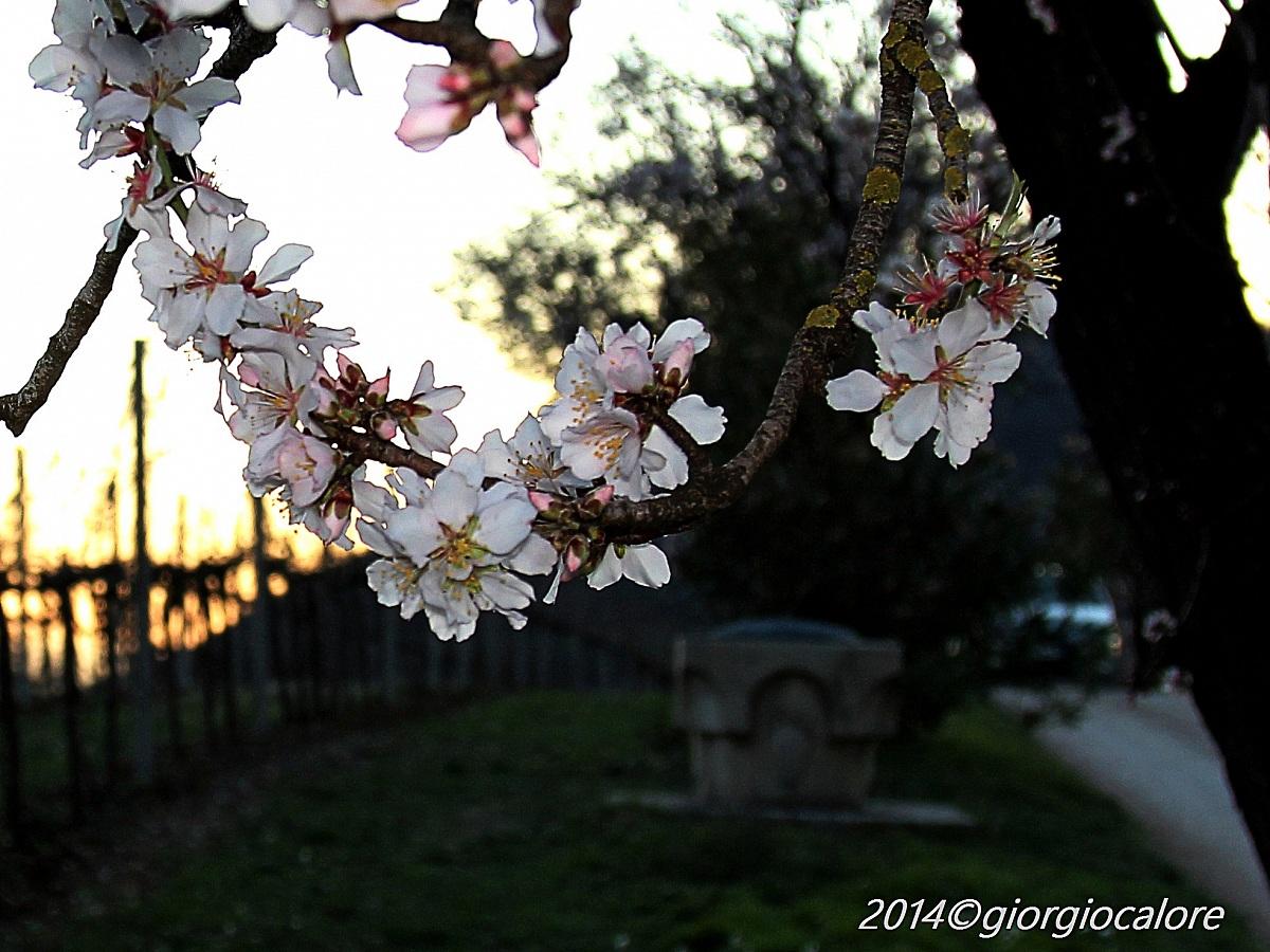 Peach flowers on Mt Fasolo...