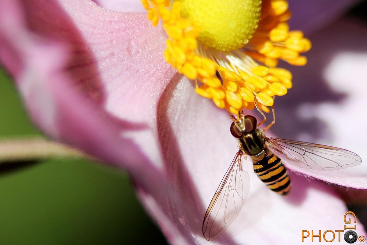 Bee on Anemone...
