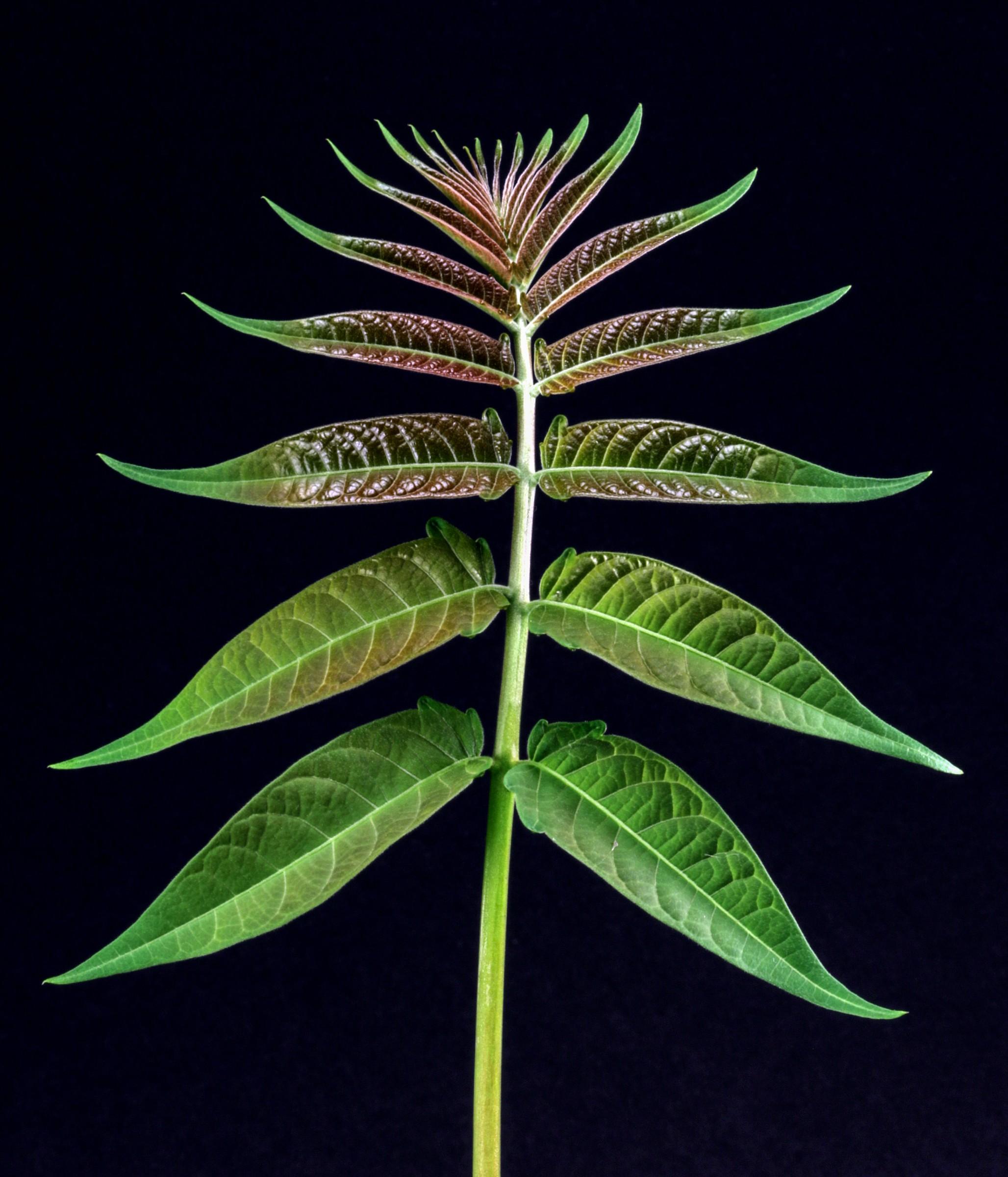 Leaf Ailanthus...