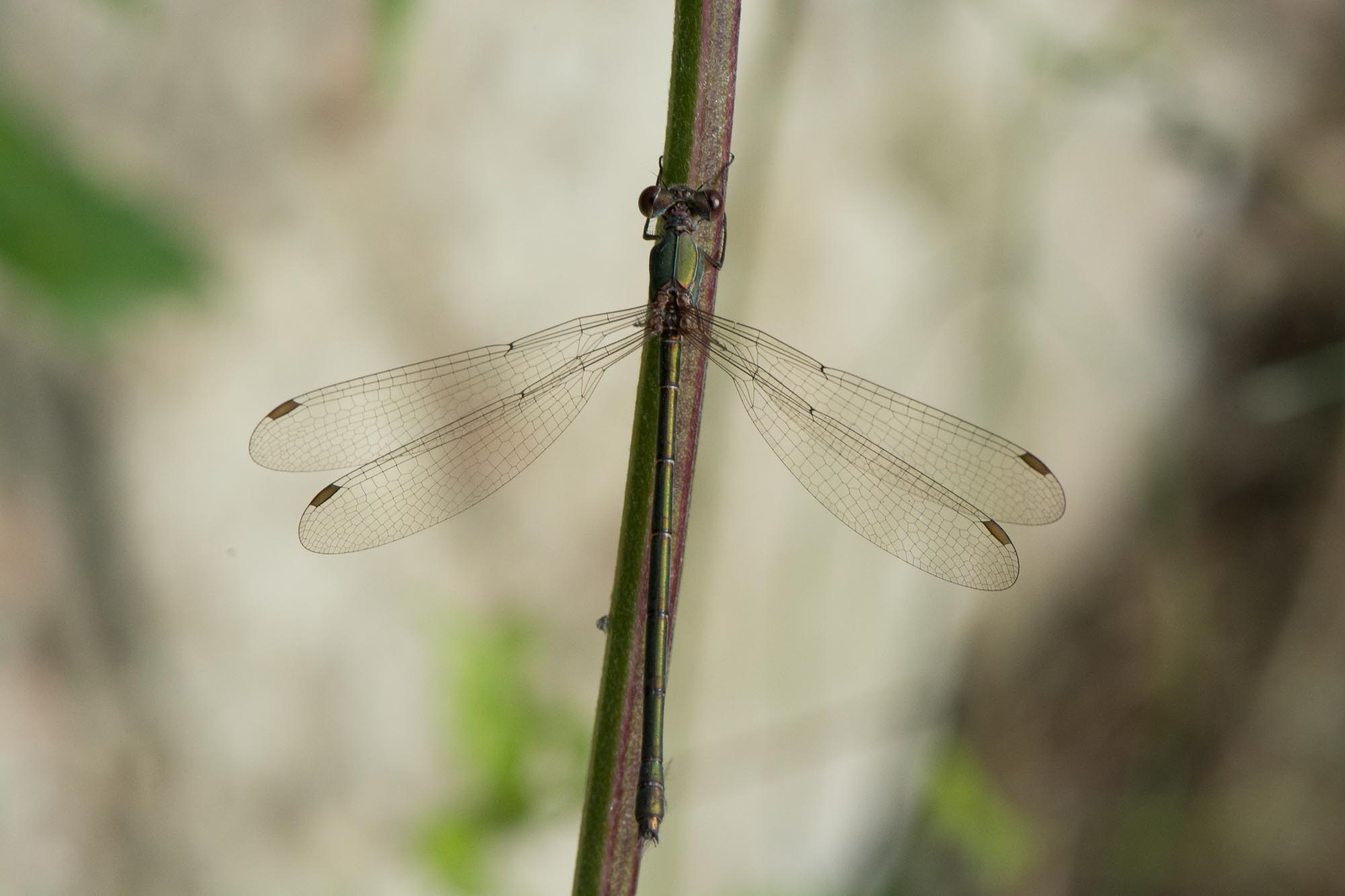 Dragonfly camouflaged...